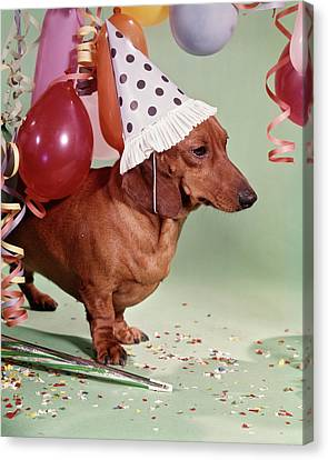 Melancholy Canvas Print - 1960s Serious Dachshund Dog Wearing by Vintage Images