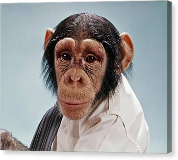 Chimpanzee Canvas Print - 1970s Close-up Face Chimpanzee Looking by Vintage Images