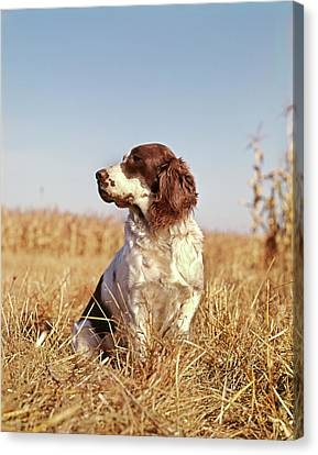 Fall Colors Canvas Print - 1970s Hunting Dog In Autumn Field by Vintage Images