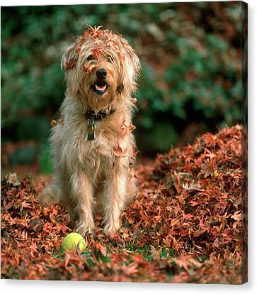 Fall Colors Canvas Print - 1980s Shaggy Beige And White Dog by Vintage Images