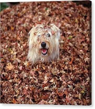 Fall Colors Canvas Print - 1990s Dog Covered In Leaves by Vintage Images