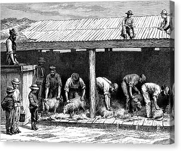 19th Century Australian Sheep Shearing Canvas Print by Collection Abecasis