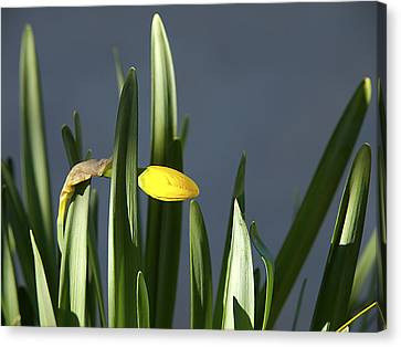 Canvas Print featuring the photograph 1st Daff by Joe Schofield