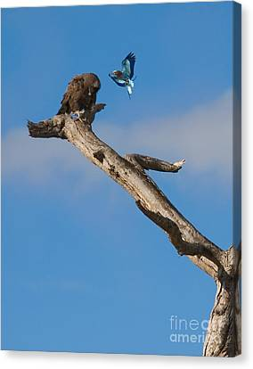 A Confrontation Canvas Print by J L Woody Wooden