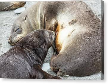 A Female Antarctic Fur Seal Canvas Print by Ashley Cooper