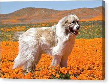 A Great Pyrenees Standing In A Field Canvas Print by Zandria Muench Beraldo