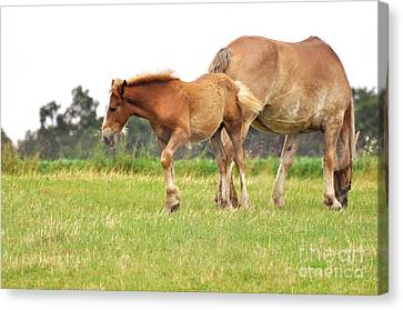 A Mare And Her Colt Canvas Print by Penny Neimiller