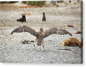 A Southern Giant Petrel Canvas Print by Ashley Cooper