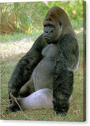 Gorilla Canvas Print - Adult Male Western Lowland Gorilla by Millard H. Sharp