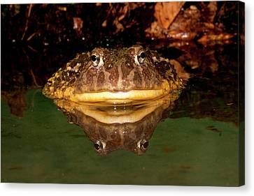 Anuran Canvas Print - African Burrowing Bullfrog by David Northcott