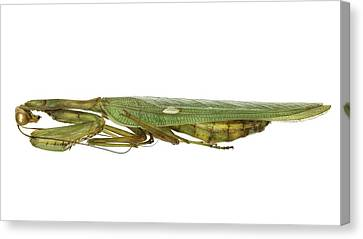 African Mantis Canvas Print by Science Photo Library
