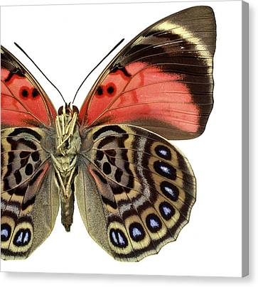Agrias Claudina Canvas Print by Natural History Museum, London