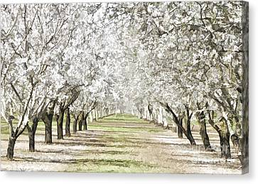 Almond Orchard Canvas Print by Kathleen Gauthier
