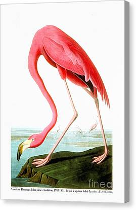 Flamingo Canvas Print - American Flamingo  by Celestial Images