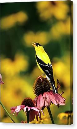 American Goldfinch (carduelis Tristis Canvas Print by Richard and Susan Day