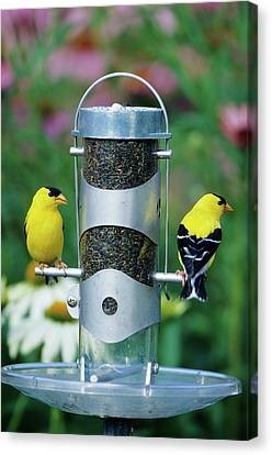 American Goldfinches (carduelis Tristis Canvas Print