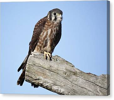 American Kestrel Canvas Print by Paulette Thomas