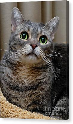 American Shorthair Cat Portrait Canvas Print by Amy Cicconi