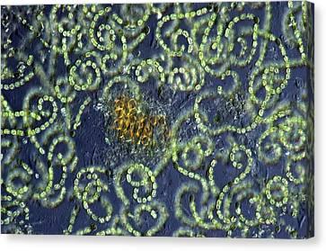 Anabaena Cyanobacteria Canvas Print by Marek Mis