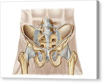 Anatomy Of Human Pelvic Bone Canvas Print by Stocktrek Images