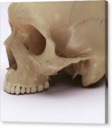 Anatomy Of The Skull Canvas Print by Science Picture Co