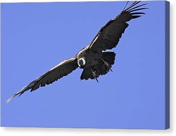 Condor Canvas Print - Andean Condor by M. Watson