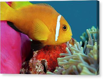 Anemonefish Guarding Eggs Canvas Print