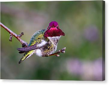 Anna's Hummingbird Canvas Print by Thy Bun