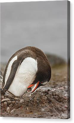 Bonding Canvas Print - Antarctica, Aitcho Island by Jaynes Gallery
