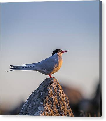 Arctic Terns Sterna Paradisaea, Flatey Canvas Print