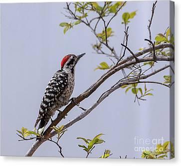 Ladderback Canvas Print - Arizona Ladderback Woodpecker by Janice Rae Pariza