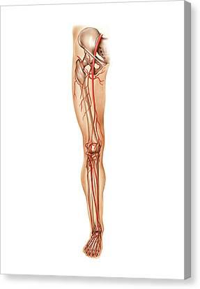 Arteries Canvas Print - Arterial System Of The Leg by Asklepios Medical Atlas