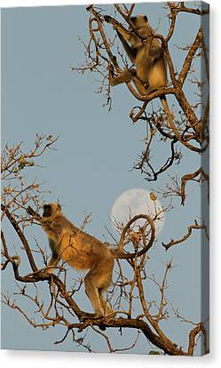 Asia, India, Pench National Park Canvas Print by Joe and Mary Ann Mcdonald
