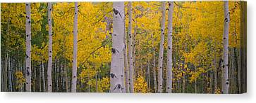 Aspen Trees In A Forest, Telluride, San Canvas Print