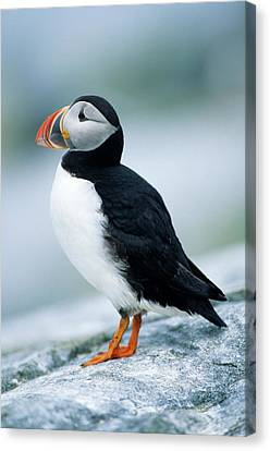 Atlantic Puffin (fratercula Arctica Canvas Print by Richard and Susan Day