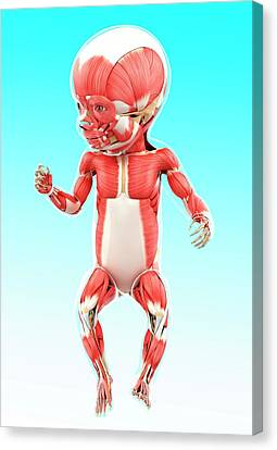 Baby's Muscular System Canvas Print by Pixologicstudio