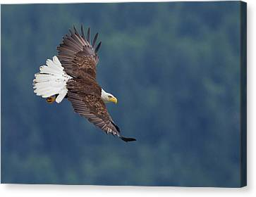 Bald Eagle In Flight Canvas Print by Ken Archer