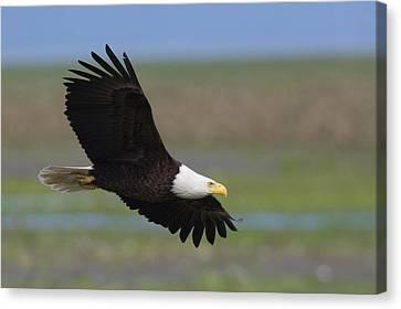 Bald Eagle Canvas Print by Ken Archer