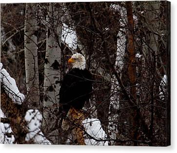 Bald Eagle Canvas Print by Omaste Witkowski