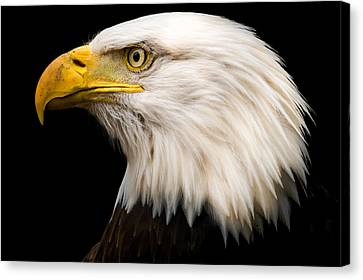 Tracy Munson Canvas Print - Bald Eagle by Tracy Munson