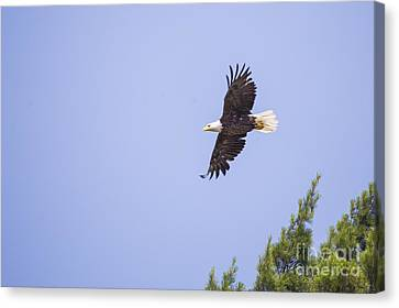 Bald Eagle Canvas Print by Twenty Two North Photography