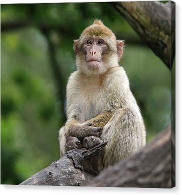 Barbary Macaque Canvas Print