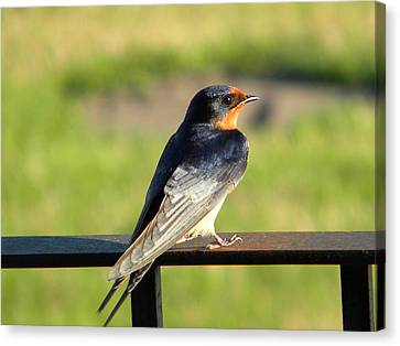 Barn Swallow Canvas Print by James Petersen