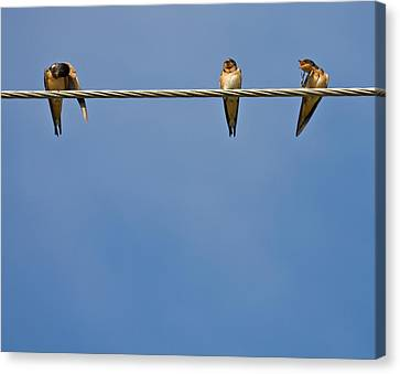 Barn Swallows Canvas Print by Melinda Fawver