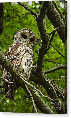 Barred Owl Canvas Print by Thomas R Fletcher