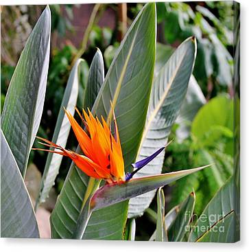 Beauty Canvas Print by Butch Phillips