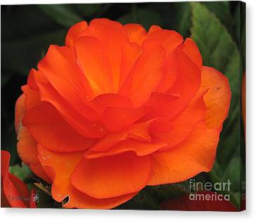 Canvas Print featuring the photograph Begonia Named Nonstop Apricot by J McCombie