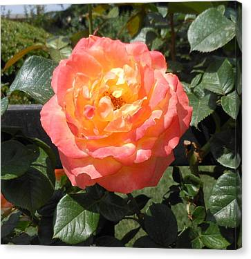 Canvas Print featuring the photograph Beijing Rose  by Kay Gilley