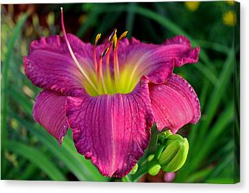 Canvas Print featuring the photograph Bela Lugosi Daylily by Suzanne Stout