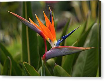 Bird Of Paradise, Kula Botanical Canvas Print by Douglas Peebles